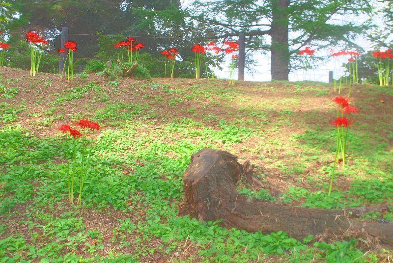 higanbana158.jpg